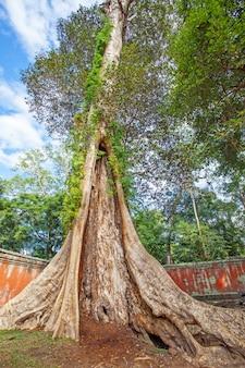 カンボジア、アンコールワットの古い木を手に入れよう