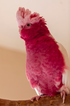The galah (eolophus roseicapilla), also known as the pink and grey, is one of the most common and widespread cockatoos.