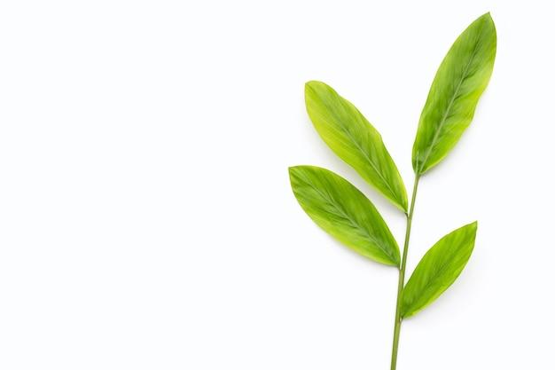 Galanga leaves on white background.