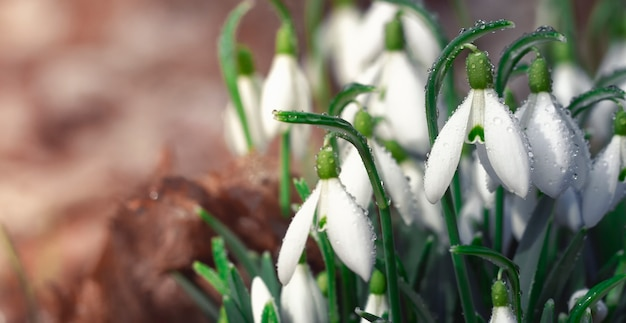 Galanthus snowdrop, the first flower that blooms in spring.