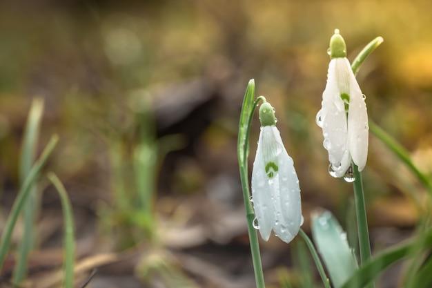 ガランサス、木の背景にスノードロップの花。森の中の新鮮な春のスノードロップの花。幸せな女性の日8行進招待カード