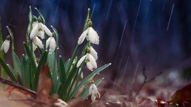 Подснежник галантус, первый цветок, распускающийся весной.