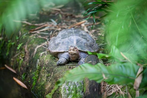 Galapagos giant land turtle