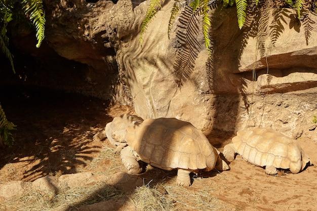 Galapagos giant tortoise. elephantopus turtles.