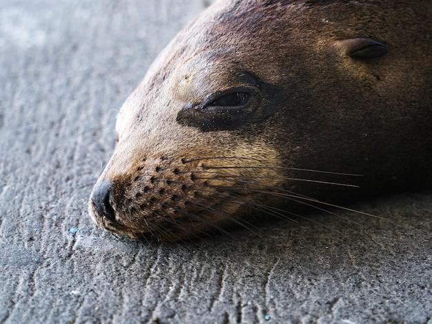 The galápagos sea lion on isla de la plata, ecuador