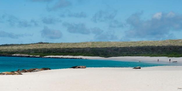 Galapagos sea lion (zalophus californianus wollebacki) basking on the beach, gardner bay, espanola island, galapagos islands, ecuador