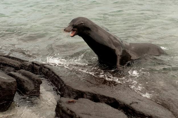 Galapagos sea lion (zalophus californianus wollebacki) on the coast, punta espinoza, fernandina island, ecuador