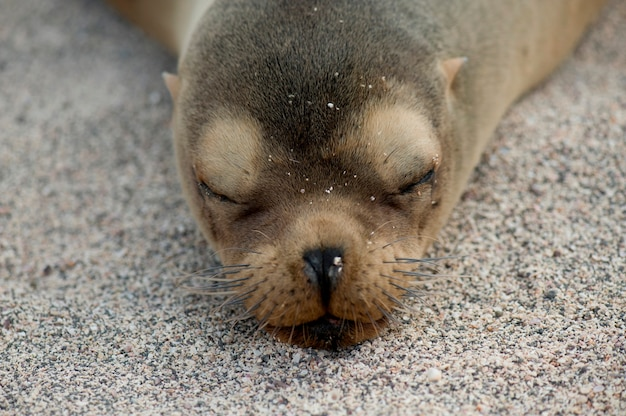 Galapagos sea lion (zalophus californianus wollebacki), north seymour island, galapagos islands, ecuador
