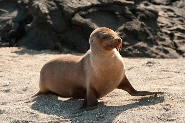 Galapagos sea lion (zalophus californianus wollebacki), punta espinoza, fernandina island, galapagos islands, ecuador