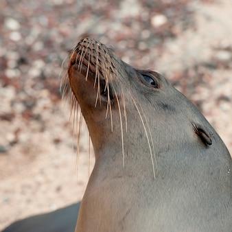 Galapagos sea lion (zalophus californianus wollebacki), san cristobal island, galapagos islands, ecuador