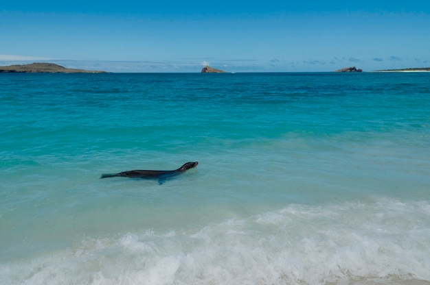 Galapagos sea lion (zalophus californianus wollebacki) swimming in the ocean, gardner bay, espanola island, galapagos islands, ecuador