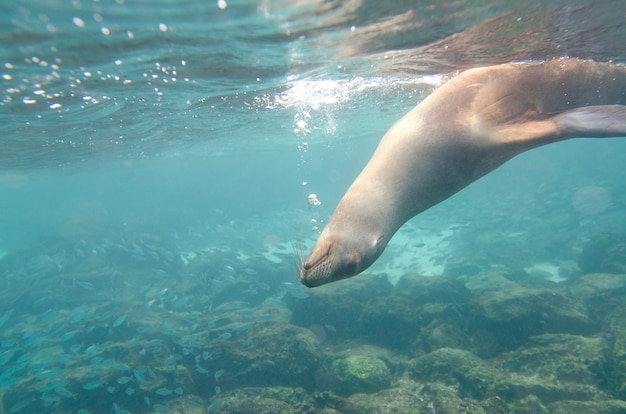 Galapagos sea lion (zalophus californianus wollebacki) swimming underwater, san cristobal island, galapagos islands, ecuador