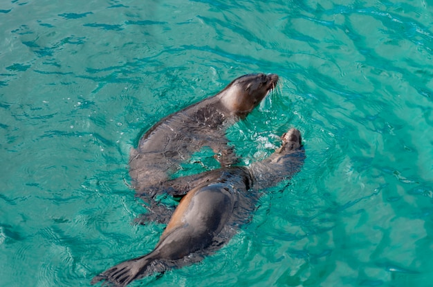 Galapagos sea lions (zalophus californianus wollebacki), puerto baquerizo moreno, san cristobal island, galapagos islands, ecuador
