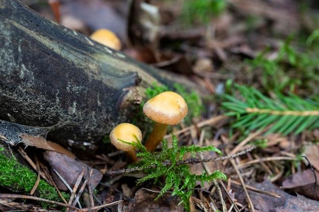 Galerina marginata, известная как гриб похоронный колокольчик или смертоносная галерина, смертельно ядовитый гриб из россии.