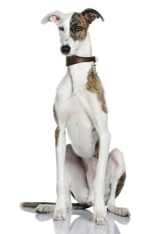 Galgoエスパニョール犬、1歳。分離された犬の肖像画