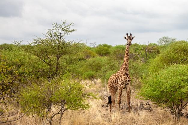 ケニアでのゲームドライブ、キリンが見守り