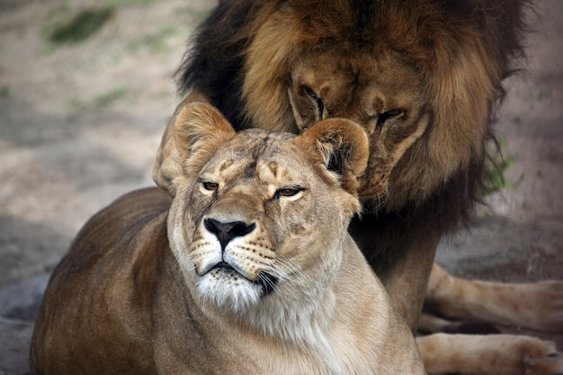 Game the lion and the lioness