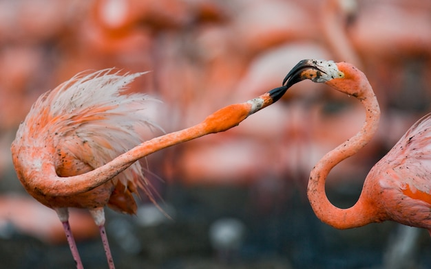 Игра двух взрослых карибских фламинго. куба. заповедник рио-максим.