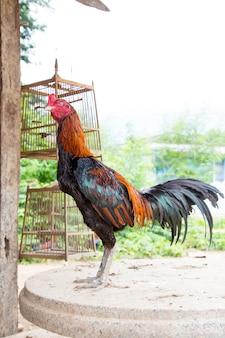Гамаки в таиланде, красивый цвет. абстрактный красный петушиный бой, курица.