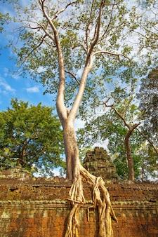 カンボジア、アンコールワットの古代の壁に根を張ったガントの木