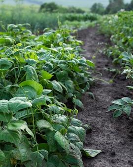 豆の庭のベッド、庭からの新鮮な若い野菜