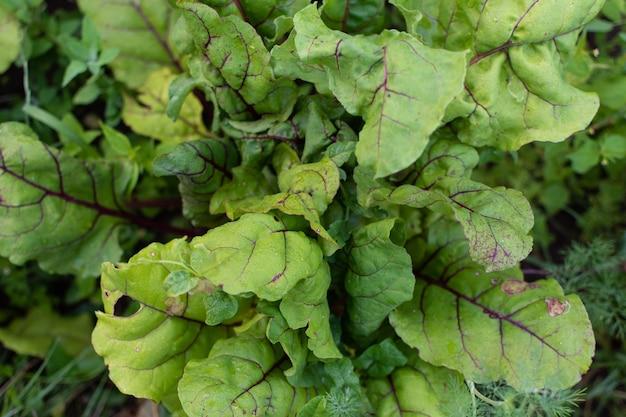 ビートルートの庭のベッド、庭からの新鮮な若い野菜