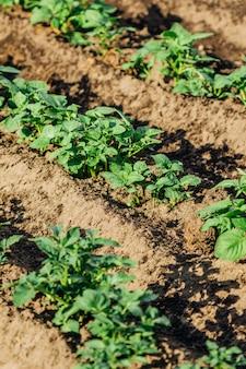 Садовые грядки с картошкой