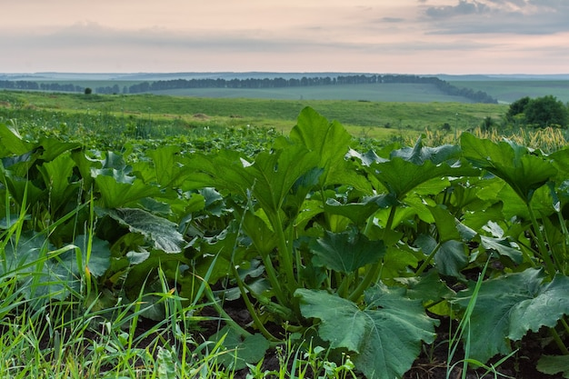 야채가 있는 정원 침대, 녹색 호박 잎이 닫히고 호박이 익고 마을의 일출