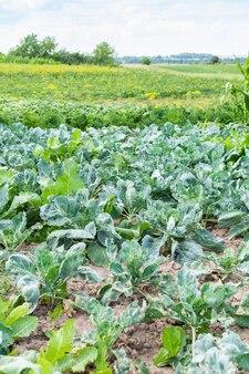 어린 녹색 양배추 잎이 있는 정원 침대가 닫혀 있고 정원에서 가져온 신선한 어린 야채