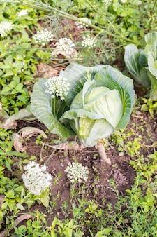 어린 녹색 양배추 잎이 있는 정원 침대, 정원에서 가져온 신선한 어린 야채가 닫혀 있습니다.