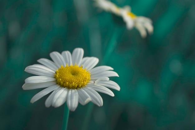 정원 카모마일 꽃, 천연 방부제. 선택적 초점
