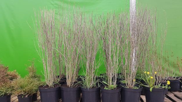 식물을 판매하는 가든 센터. 야외 정원 상점의 화분에 있는 다양한 나무의 묘목. 상점에 판매하기 위해 묘목 심기의 대규모 배포.