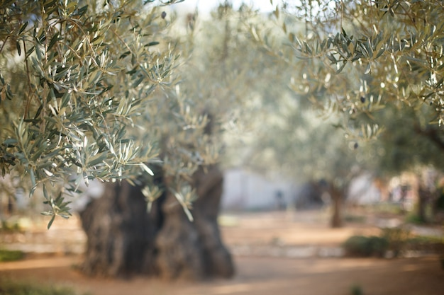 Garden of gethsemane. famous historic place