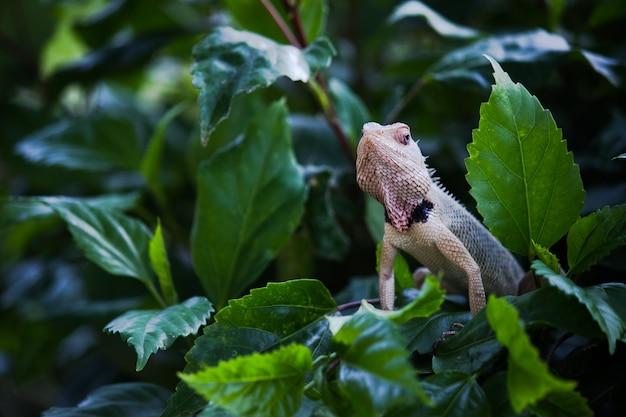 정원 도마뱀 또는 식물의 가지에 동양 식물 도마뱀으로도 알려져 있습니다.