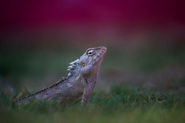 ガーデントカゲまたは横向きのgラウンドのオリエンタルプラントトカゲとしても知られています