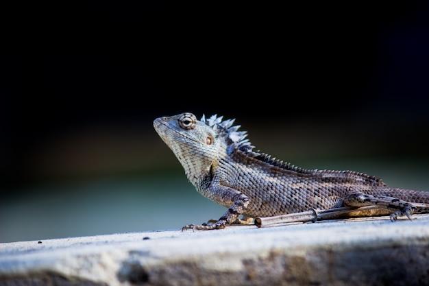 庭のトカゲまたは横向きの東洋の植物のトカゲとしても知られています