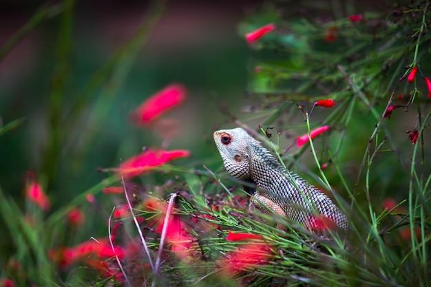 정원 도마뱀 또는 동양 식물 도마뱀으로도 알려져 있으며 식물의 가지에 침착하게 쉬고 있습니다.