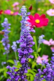 겨울에 정원 자연의 밝은 보라색 꽃밭.