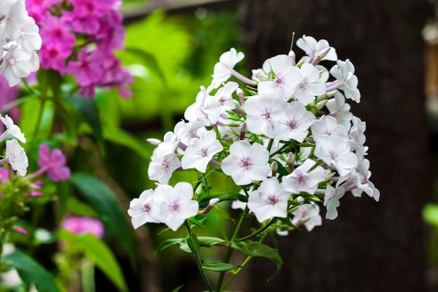 Садовые флоксы цветы с листьями