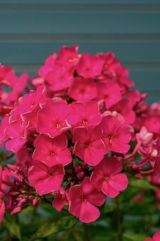 庭のピンクのフロックスは、青い木製の壁の多年生のフロックスの背景にパニックになります