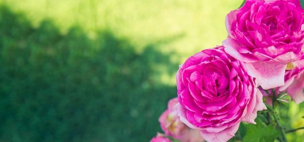 Садовые бутоны розовых роз в саду крупным планом баннер для веб-сайта со свободным пространством для текста