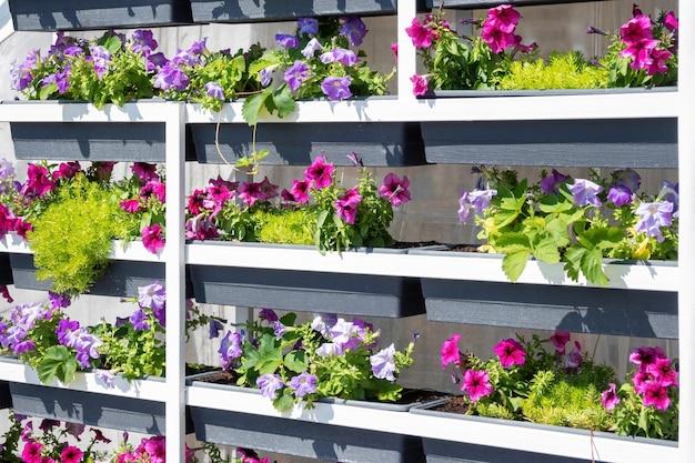 야외 금속 선반에 화분에 피튜니아 서피니아 꽃이 있는 정원 식물 보육 시장.