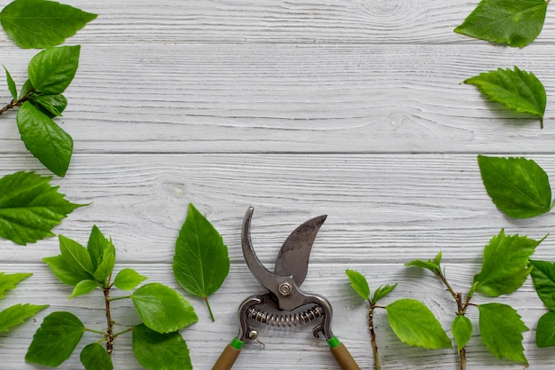 A garden pruner, branches and green leaves on a white rustic wooden background