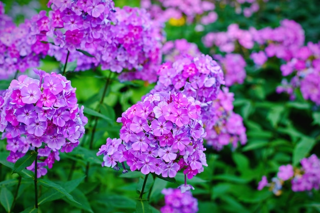 Garden purple phlox (phlox paniculata), vivid summer flowers