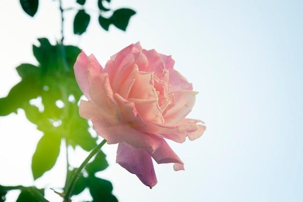 Garden rose on blue sky background, retro toned
