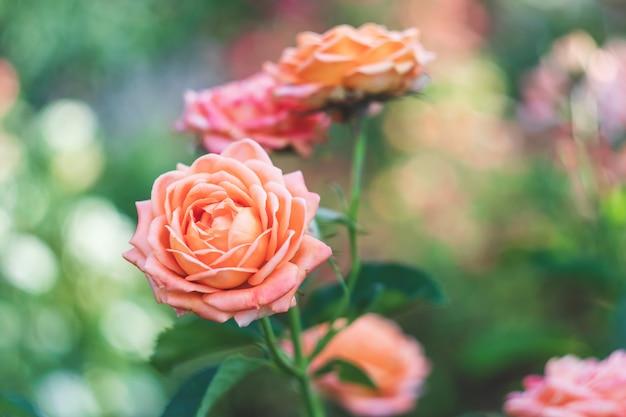 Садовые розы, розовые цветы, природа. розовый куст.