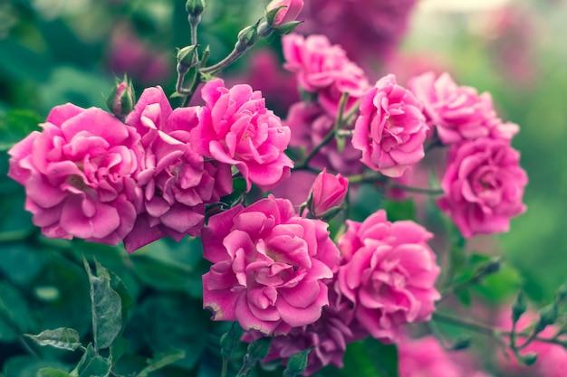 Садовые розы, куст роз, розовые цветы в саду, лето