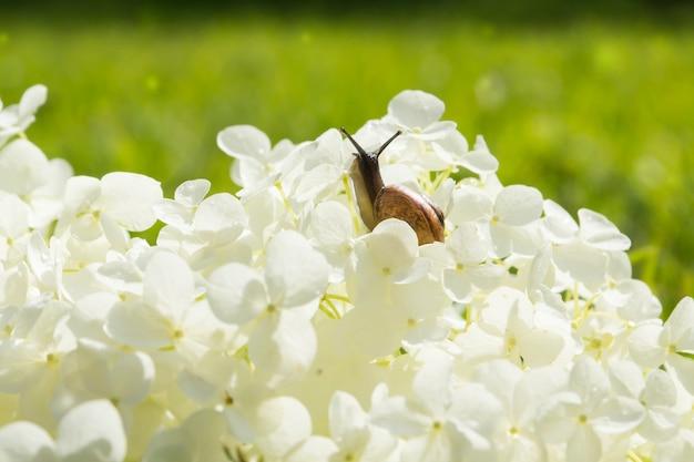 大きな白い花アジサイarborescens、柔らかな光、ぼやけた背景、選択的な焦点を這う庭のカタツムリ