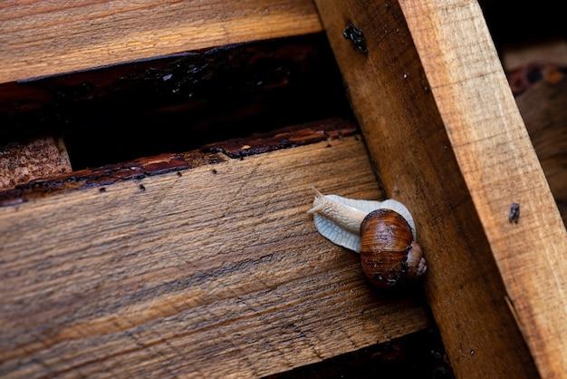 Садовая улитка ползет на деревянный поддон. виноградная улитка, общие названия римская улитка, съедобная улитка. мягкий выборочный фокус.