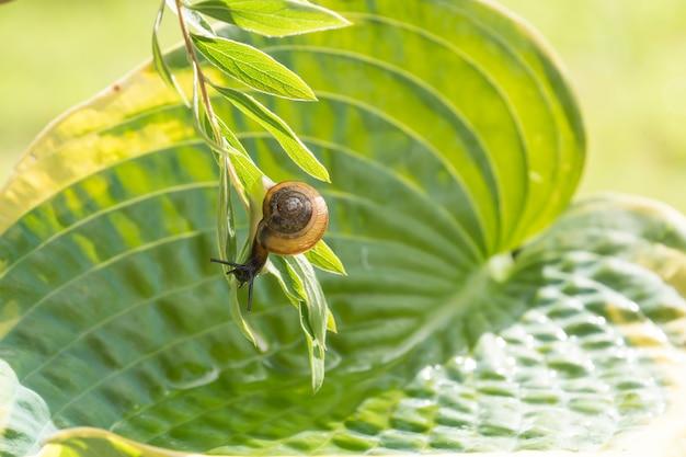 ギボウシの葉の上に水でぶら下がっている枝に逆さまに這う庭のカタツムリ